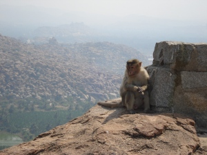 Brooding Hampi monkey